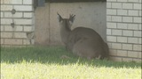 Deer causes traffic backups on John Belk Freeway - (3/11)
