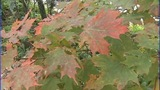 IMAGES: High hopes for fall leaf season in mountains - (2/6)