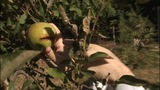 IMAGES: Apple crop damaged due to Summer rain - (11/11)