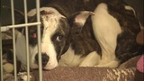 IMAGES: Dog found shot in head, hog tied - (4/4)