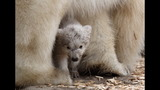 IMAGES: Munich Zoo presents twin polar bear cubs - (23/25)