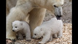 IMAGES: Munich Zoo presents twin polar bear cubs - (6/25)