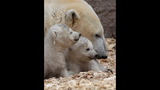 IMAGES: Munich Zoo presents twin polar bear cubs - (12/25)