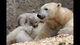 IMAGES: Munich Zoo presents twin polar bear cubs - (13/25)