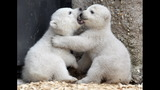IMAGES: Munich Zoo presents twin polar bear cubs - (7/25)