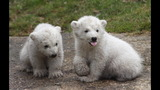 IMAGES: Munich Zoo presents twin polar bear cubs - (14/25)