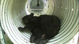 IMAGES: Black bears trapped by biologists - (5/10)