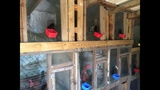 IMAGES: 200 roosters, chickens seized in… - (5/10)