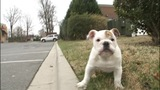 Bulldog puppy_6726183