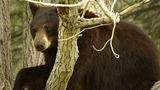 FILE PHOTO of black bear_7395774