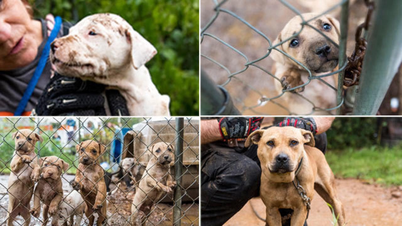 aspca accepting donations for 23 dogs seized in huntersville wsoc tv