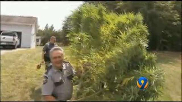 Deputy spots marijuana plants as tall as Christmas trees ...
