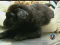Brody the puppy recovering after being shot with 18 BBs