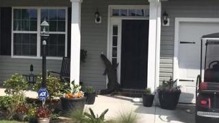 Alligator climbs front door of South Carolina home