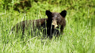 Mother bear killed following attack on woman; cubs relocated