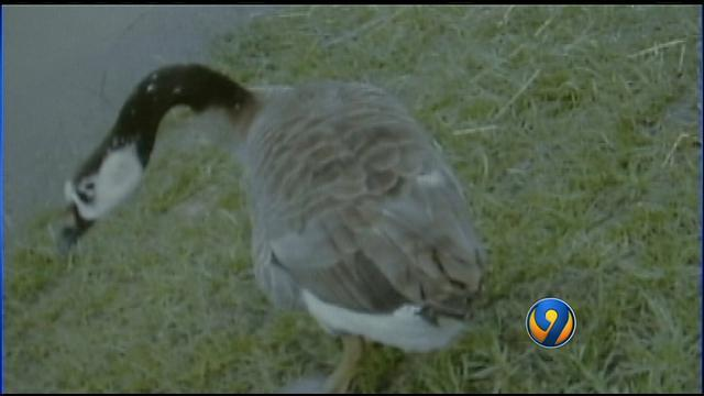 Canada Goose victoria parka sale 2016 - Animal advocates outraged over killing of 144 Gaston Co. geese ...