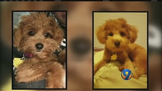 Owner claims dogsitter sold dogs on Craigslist