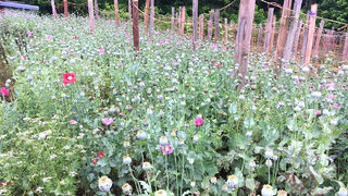 POPPY BUST: Half-billion dollars worth of plants found in Catawba Co.