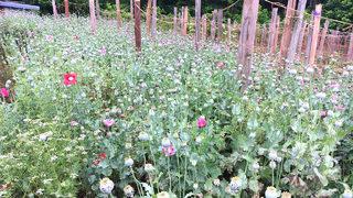 POPPY BUST: Half-billion dollars worth of plants found in Catawba Co.