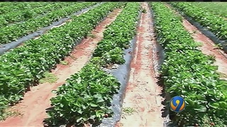 Heavy rains dampen strawberry-picking season