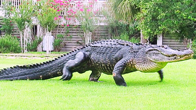 Caught On Camera Massive 12 Foot Gator Takes Jaunt Across Sc Golf
