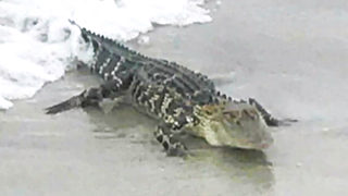 WATCH: Vacationing Charlotte family finds gator in Oak Island surf