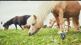 CMS votes to allow mini-horses in class as service animals