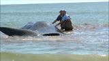 Whale euthanized after beaching along Oak Island shore