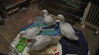 IMAGES: Staffers treat birds after fire at Carolina Waterfowl Rescue