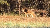 Coyotes spotted more often in Gastonia neighborhood