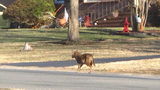 Coyotes spotted in east Charlotte neighborhood