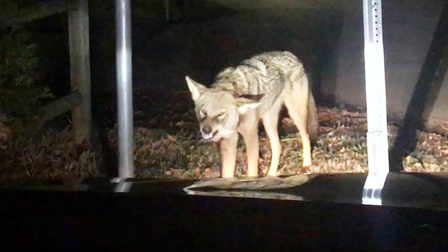 tests confirm coyote that attacked huntersville family 39 s car was rabid wsoc tv. Black Bedroom Furniture Sets. Home Design Ideas