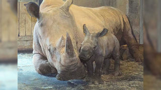 Southern white rhino born at NC Zoo, first in 41 years