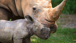 NC Zoo announces name of baby rhino chosen through public poll