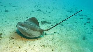 CAROLINA STINGRAYS JELLYFISH: Rise in stingray, jellyfish