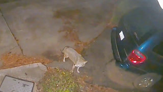 WATCH: Home video shows coyotes prowling south Charlotte neighborhood