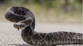 Hallan 45 serpientes de cascabel que moraban bajo vivienda en Texas