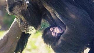 Baby chimpanzee born at North Carolina Zoo
