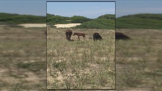 Outer Banks welcomes fifth wild horse colt this year