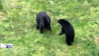 North Carolina mountain residents report more black bear encounters
