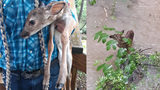 Fawn saved from rising floodwaters near Rhodhiss Dam