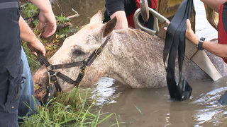MUST SEE: Firefighters rescue retired therapy horse stuck in pond