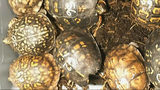 DNR: Turtle poacher was shipping hundreds of animals overseas